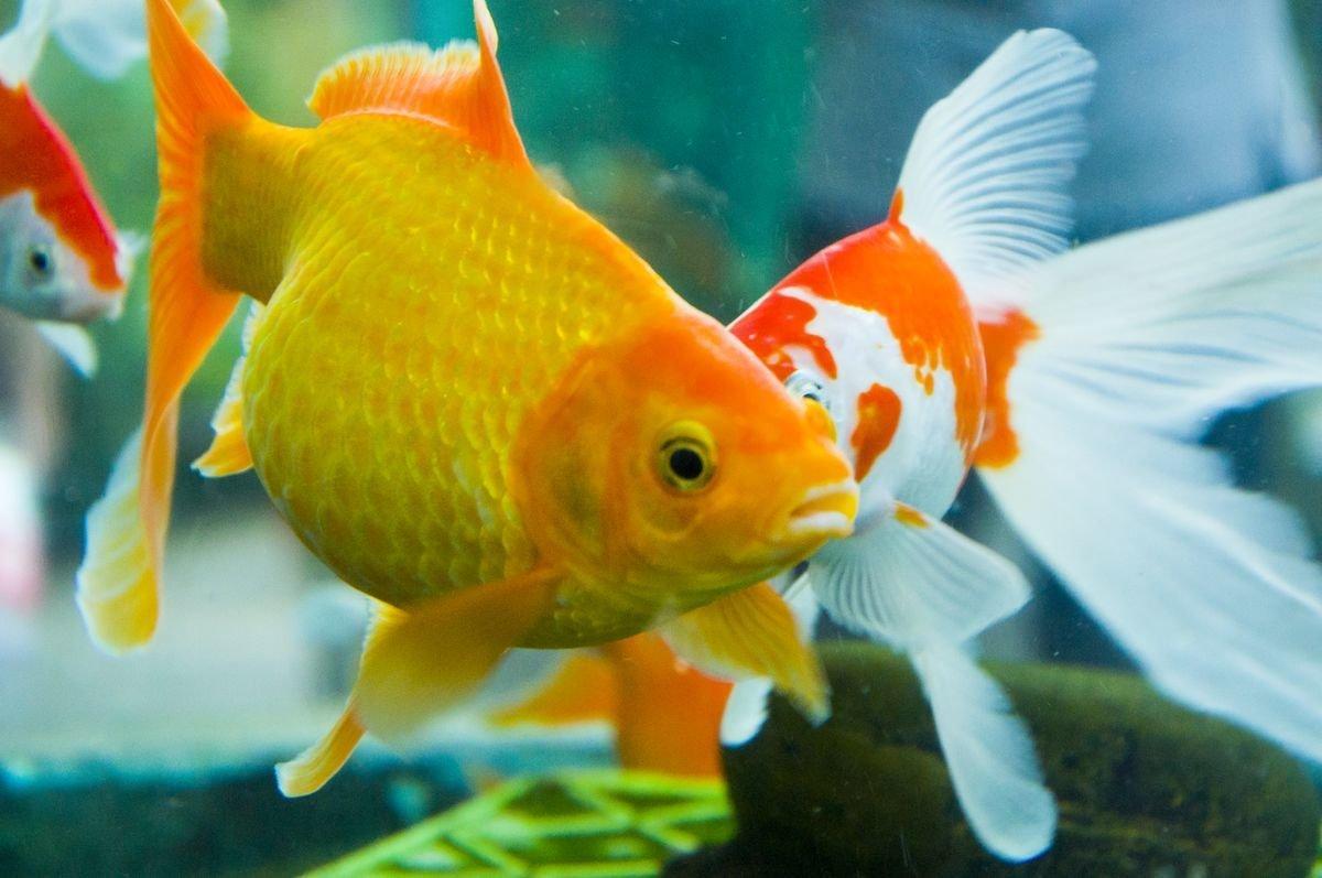 观赏鱼为什么褪色了?观赏鱼褪色变色的原因